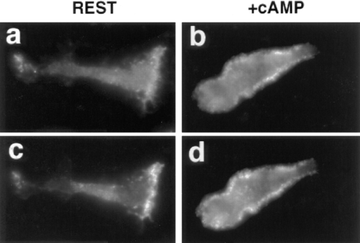 Incorporation of exogenous rhodamine-labeled G-actin  and localization of capping protein in resting and stimulated Dictyostelium at 10°C. AX3 cells were starved as described in Fig. 3  and stimulated with 10 μM 2′ deoxy-cAMP at 10°C for 0 (rest)  and 20 s (+cAMP). Cells were then permeablized with 0.1% Triton X-100 in the presence of 20 μM phalloidin, rinsed, and incubated with 0.45 μM rhodamine-labeled G-actin, prepared as described (Chan et al., 1997), for 5 min. Polymerization was  terminated by fixation and stained for capping protein as described. Rhodamine-labeled G-actin (a and b); anti–capping protein-α (c and d). Images shown are representative of typical cells  most commonly observed in these experiments.