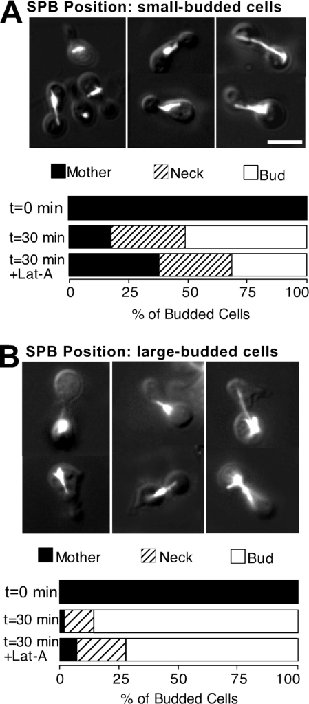 Cell cycle specificity of the effect of F-actin perturbation on SPB migration. Synchronized G1 cells of the cdc31-1 strain (JMY6-10) were isolated as in Fig. 5, and incubated at 37°C in the presence of nocodazole, together with α-factor for 2 h. The resulting shmoo-shaped cells were harvested by centrifugation and resuspended in fresh YEPD (prewarmed to 37°C) with nocodazole, but lacking α-factor, releasing them from G1 arrest and allowing bud formation. These cells were harvested after a further 1 h (small-budded cells, A) or 2 h (large-budded cells, B) and separate aliquots were treated with either 100 μM Lat-A or DMSO (controls). After another 30 min at 37°C, the cells were fixed and processed to visualize F-actin and tubulin. The position of the SPB was scored as described in Materials and Methods (n = 200 for each sample). Mothers and buds in this experiment were distinguished by shmoo-shaped (mother) or round (bud) morphology. Representative pictures of cells are shown, overlaying tubulin staining and DIC images of the same cells. Bar, 5 μm.