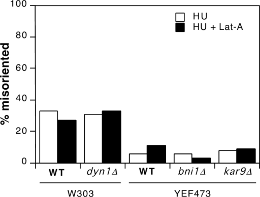 Spindle orientation in hydroxyurea-arrested cells lacking Kar9p, Bni1p, or dynein. Isogenic wild-type (W303a) and dyn1Δ (KBY62) cells, and isogenic wild-type (YEF473), kar9Δ (KBY1010), and bni1Δ (KBY1011) cells were grown in YEPD at 30°C, synchronized by addition of 200 mM hydroxyurea (HU) for 3 h (YEF473 strains) or 4 h (W303a strains), and supplemented with 0 or 100 μM Lat-A for a further 15 min, as indicated. Cells were fixed and processed to visualize F-actin and tubulin, and spindle orientation was scored as described in Materials and Methods. n = 200 for each sample.