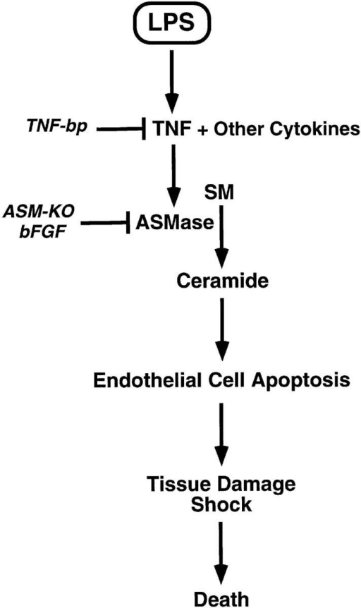 Proposed schema  for progression of the endotoxic  response. LPS, released by gram  negative bacteria, interacts with  inflammatory cells leading to  generation of TNF-α and other  cytokines. TNF-α, acting upon  endothelium, stimulates sphingomyelin hydrolysis to ceramide  via an ASMase. Apoptosis of the  endothelium ensues, which can  be blocked by bFGF via inhibition of ceramide generation. We  further propose that endothelial  apoptosis results in generalized  microvascular dysfunction sufficient to compromise the circulation to major organs, leading to  nonendothelial tissue damage,  circulatory collapse, and death.