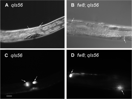 Nomarski and DTC Marked GFP (qIs56) Images of bub-1 Mutants.(A) The DIC and (C) the DTC GFP picture of the same N2. (B) The DIC and (D) the DTC GFP picture of the same bub-1(fw8) mutant. The DTC GFP cells showed that the bub-1(fw8) mutant gonad arm could not grow to form the U shape gonad. Anterior is to the left and ventral side is down. One gonad in each animal in (A) and (B) was outlined in a dotted line. Dorsal is up in 7a and 7c; and dorsal is facing out the paper in 7b and 7d. The scale bar represents 25 µm.