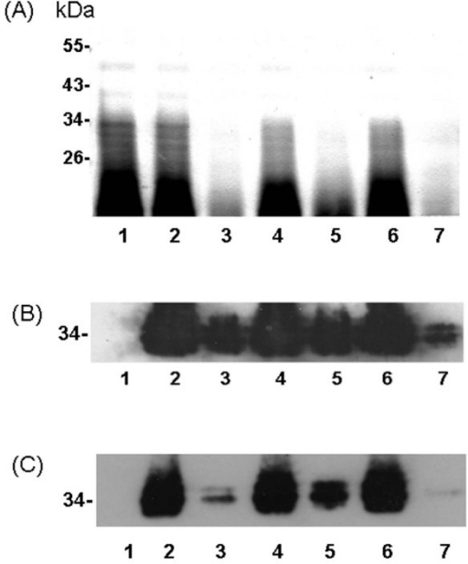 Silver-stained of proteinase-K digested whole cell lysate from H. pylori wild-type and isogenic mutants. (A) Lanes 1–7 were all loaded with 2.5 × 108 proteinase K-digested bacteria (~130 μg total protein). Lane 1, 26695; lane 2, wild-type; lane 3, imp/ostA single mutant strain; lane 4, imp/ostA complementation strain; lane 5, msbA single mutant strain; lane 6, msbA complementation strain; lane 7,imp/ostA and msbA double mutant strain. Molecular weights of the prestained markers are indicated. (B-C) Immunoblots of LPS from H. pylori with anti-Lea or anti-Leb monoclonal antibodies. (B) anti-Lea (1:3000) as the primary antibody and anti-mouse IgG (1:5000) as the secondary antibody, or (C) anti-Leb (1:3000) as the primary antibody and anti-mouse IgG (1:5000) as the secondary antibody.