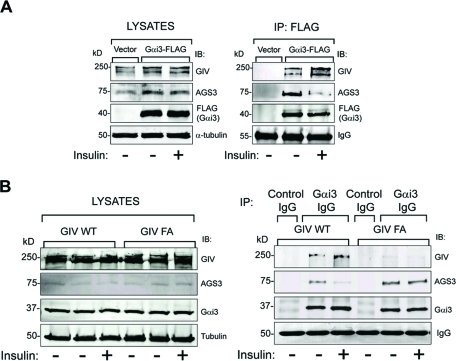 GIV's GEF motif is required for insulin to trigger a shift in Gαi3 binding from AGS3 to GIV. (A) Gαi3 coimmunoprecipitates with AGS3 in serum-starved cells and with GIV when cells are insulin stimulated. Cos7 cells transiently transfected with FLAG-tagged Gαi3 (Gαi3-FLAG) or vector control were serum starved (-) and stimulated with 100 nM insulin (+) for 15 min before lysis. Equal aliquots of cell lysates (left panel) were incubated with anti-FLAG mAb. Immunoprecipitated complexes (right panel) were analyzed for GIV, AGS3, and FLAG (Gαi3) by immunoblotting (IB). In serum-starved cells (−), Gαi3-bound immune complexes are enriched in AGS3, whereas after insulin treatment (+) these immune complexes are depleted of AGS3 and enriched in GIV. Identical observations were made after EGF treatment (Supplemental Figure S4). (B) Changes in the abundance of Gαi–AGS3 complexes in response to insulin require an intact GEF motif in GIV. Immunoprecipitation was carried out on lysates of serum-starved and insulin-stimulated control, GIV-WT, and GIV-FA cells with anti-Gαi3 IgG, and the immune complexes were analyzed for Gαi3, AGS3, and GIV by IB. In GIV-WT cells, the amount of Gαi3-bound GIV increased and the amount of Gαi3-bound AGS3 decreased upon insulin treatment. In GIV-FA cells (GEF-deficient mutant), GIV does not coimmunoprecipitate with Gαi3, and the extent of Gαi3-bound AGS3 remains unaltered after insulin treatment.