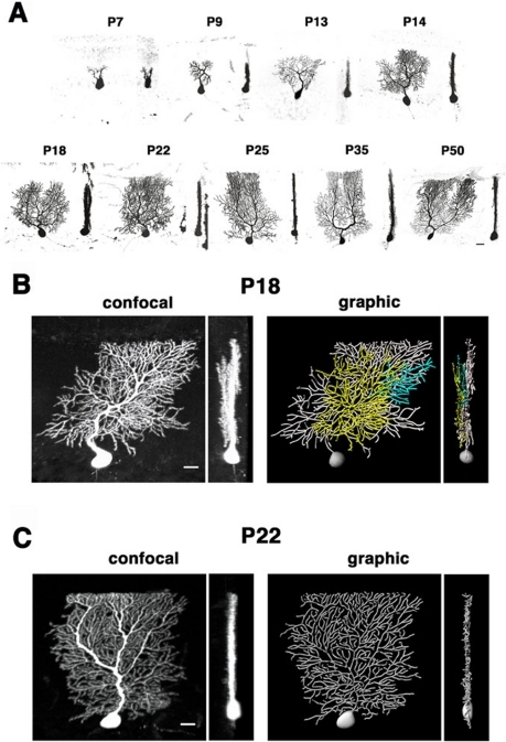 Confocal analysis of dendrite arborization in developing Purkinje cells.A: Sagittal (left) and coronal (right) views of developing Purkinje cells labeled with adeno-associated virus (AAV)-derived GFP. Three-dimensional images were compiled from 20–50 z-serial sections taken at 1 µm intervals. Dendritic processes at P7 orient randomly in the molecular layer. At P9 and thereafter, Purkinje cells bear a single to a few primary stem dendrites which extend branches along the sagittal axis of the molecular layer. B: Confocal and graphic images of typical Purkinje cells at P18. Sagittal (left panels) and coronal (right panels) views are shown. Some dendrites extrude from the sagittal plane filled by main arbors, and further branch in distinct parallel sagittal planes (pseudocolored in yellow and blue in graphic images; see also Video S1). C: The P22 Purkinje cell arborizes dendrites in a single sagittal plane (see also Video S2). Scale bars: 20 µm.