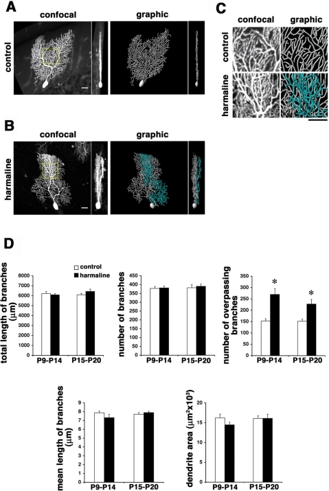 Disrupted remodeling of Purkinje dendrites in harmaline-treated mice.Cellular morphology of P30 Purkinje cells in mice treated with saline (A) and harmaline (B) at P9–P14. Dendrites become irregular and multiplanar by harmaline treatment compared to the control littermate. Dendrites in minor sagittal planes are pseudocolored in graphic images. C: High power sagittal views of dendrites in respective boxed regions in A and B. Dendrites significantly overpass one another in harmaline-treated mice. D: Quantitative comparison of dendrite morphology in mice treated with saline or harmaline during P9–P14 or P15–P20. Overpassing branches are significantly increased by harmaline treatment in either period. Cells in the bank region of lobules IV and V were analyzed. n = 10 for each data point, mean±s.e.m, Student's t test, *p<0.01. Scale bars: 20 µm.