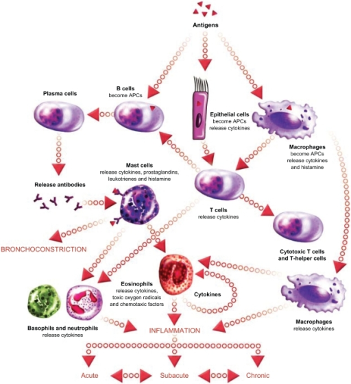 The inflammatory cascade in asthma. Acute-phase inflammation is ...