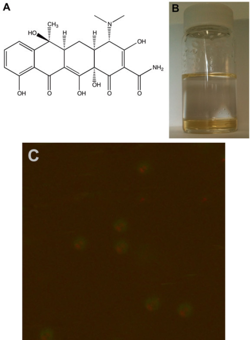 Tetracycline (A), its entrapment into the organic phase of a biphasic system (B) and its encapsulation into polystyrene microspheres (C) Original magnification ×600.