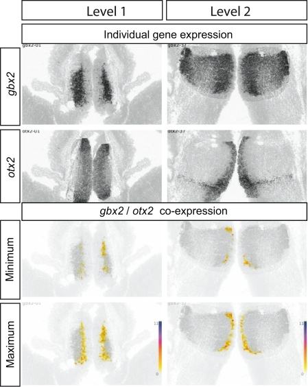 Gbx2 and Otx2 co-expression in E13.5 thalamus. Top four panels show the raw data from ADMBA: in situ hybridizations for gbx2 and otx2 at two coronal levels through the thalamus (see Figure 6). The lower four panels show representations of gbx2 and otx2 co-expression obtained by combining gene expression and cell density information and calculating the (1) maximum and (2) minimum number of cells in each 20 μm × 20 μm tile co-expressing olig2 and otx2 (as in Figure 6). A strip of co-expressing cells, narrow in the mediolateral axis but extending along the dorsoventral axis of the thalamus, is identified where two to six cells in each tile must be co-expressing gbx2 and otx2.