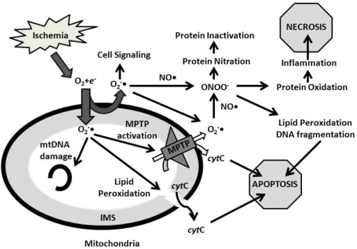 Summary Diagram Of Cytotoxic Effects Resulting From Ros Open I