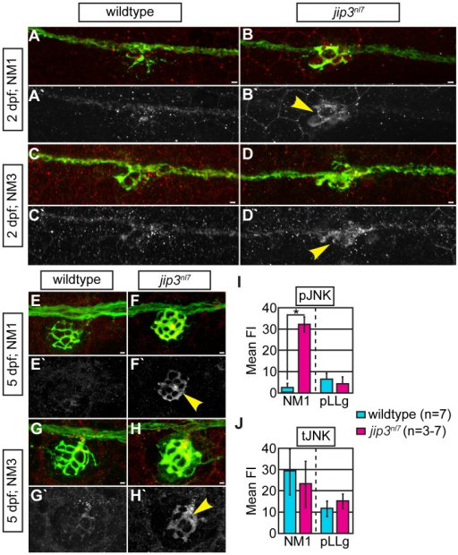 pJNK levels were elevated in jip3nl7 axon terminals.(A–H) Immunolabeling for active JNK (pJNK; red in merge; white in single channel) in proximal (NM1) and distal (NM3) neuromasts at 2 and 5 dpf. pJnk levels were elevated in all axon terminals in jip3nl7 mutants (A–I; arrowheads). (I,J) Mean fluorescent intensity (background subtracted; see Materials and Methods for details) of pJNK and total JNK (tJNK) labeling in NM1 axon terminals and the pLL ganglion (pLLg) at 5 dpf. (ANOVA, post-hoc contrasts; *-p<0.001). Scale bars = 10 µm.