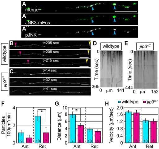 Retrograde JNK3 transport frequency was decreased in jip3nl7 mutants.(A) Immunolabeling for pJNK in an axon expressing JNK3-mEos showed a high degree of colocalization (arrowheads) indicating that a large percentage of axonal JNK3-mEos is activated. (B,C) Representative stills from a live imaging session showing axonal transport of JNK3-mEos in a pLL axon of a wildtype (B) and jip3nl7 mutant (C) at 2 dpf (see Videos S6 and S7). Pink arrowhead denotes anterograde movement, yellow retrograde movement. (D,E) Kymographs generated from these imaging sessions. (F) Number of retrograde JNK3-mEos puncta (corrected for size of analyzed region and time of imaging session) was decreased in jip3nl7 (ANOVA, post-hoc contrasts; *-p<0.05). Distance of individual retrograde movement bouts (G) and velocity (H) were unaltered in jip3nl7. Anterograde transport distance was decreased (*-p<0.05; Ant = anterograde; Ret = retrograde). Scale bars = 10 µm.