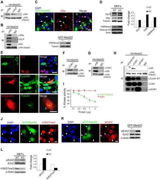 Analysis of Mad2l2 function in fibroblasts.(A) Protein extracts from HA-Mad2l2 transfected NIH3T3 cells were co-immunoprecipitated (IP) by antibodies against G9a, GLP, or IgG (as negative control). Immunoblotting (IB) was performed on 20% of gel-separated immunoprecipitates (upper blot), or 1% input (lower blot) by using anti-HA antibody. (B) Reciprocally, the same protein extract was co-immunoprecipitated (IP) by antibodies against the HA-tag, or IgG (as negative control). Immunoblotting (IB) was performed on 20% of the immunoprecipitates (upper blots), or 1% input (lower blot) by using anti-G9a, anti-GLP, or anti-HA antibodies. (C) Immunocytochemistry detects a downregulation of G9a in GFP-Mad2l2 over-expressing NIH3T3 cells (arrowheads) in comparison to untransfected cells (arrows). The lower panel shows a western blot analysis of H3K9me2 levels in GFP-Mad2l2 over-expressing, FACS-sorted NIH3T3 cells versus non-transfected NIH3T3 cells. Note the efficient downregulation of H3K9me2 by Mad2l2 overexpression. (D) A representative western blot analysis of GLP, G9a, H3K9me2 and Histone H3 levels in wild type versus knockout MEFs (left panel) and quantification of the western blot bands normalized to tubulin or actin signals (right panel). (E) The effect of Mad2l2 on cell cycle parameters. HA-Mad2l2 transfected NIH3T3 fibroblasts never expressed pH 3 (0%, 0/70; e.g. cell number #1, upper panel), and always displayed Cyclin B1 in the cytoplasm (100%, 40/40; #3, middle panel). Some of the non-transfected cells entered the mitotic prophase (#2, #4) or anaphase (#5), and displayed nuclear pH 3 (#2) or nuclear Cyclin B1 (#4, #5). HA-Mad2l2 expressing cells displayed two unseparated centrosomes detectable by γTubulin (100%, 7/7; #6, lower panel). Scale bars, 20 µm (upper and middle panels), 10 µm (lower panel). (F–G) Reciprocal co-immunoprecipitation of HA-Mad2l2 and Cdk1 from HA-Mad2l2 over-expressing protein extract, using either anti-HA or anti-Cdk1 antibodies. 50% of the immunoprecipitates, or 1.5% of total cell lysate (input) were loaded. (H) Cdk1 antibody co-immunoprecipitated HA-Mad2l2 from transfected NIH3T3 cells, but not antibodies against Cyclin B1, pCdk1, and rabbit IgG. 50% of the immunoprecipitates, or 1.5% of total cell lysate (input) were loaded. (I) Recombinant GST-Mad2l2 attenuates the kinase activity of Cdk1-Cyclin B1 (2.5 mUnits) in vitro, while GST alone is not effective. Mean values of three independent experiments with duplicate measurements, and standard deviations are indicated. (J) Immunocytochemistry demonstrates the upregulation of H3K27me3 in GFP-Mad2l2 over-expressing NIH3T3 cells (arrowheads). (K) Immunocytochemistry analysis shows suppression of phosphorylation on Ezh2 at T487 (white arrowhead) in comparison to surrounding, untransfected interphase cells. The highest level of pEzh2 was detected in mitotic cell with high level of Cdk1 activity (arrow). The right panel shows a western blot analysis of pEzh2 and Ezh2 levels in FACS-sorted, GFP-Mad2l2 over-expressing NIH3T3 cells and untransfected controls. (L) A representative western blot analysis of pEzh2, Ezh2, H3K27me3, and actin levels in wild type versus knockout MEFs (left panel) and quantification of the western blot bands normalized to actin signal (right panel). Note the inhibition of Ezh2 by phosphorylation, and the concomitant decrease of H3K27me3 in the absence of Mad2l2.