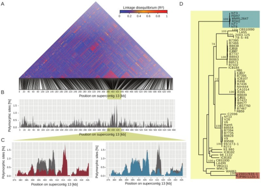 Genomic islands of high polymorphism on supercontig 13 are caused by two distinct VGII clades. (A) Linkage disequilibria (R2) among SNP loci on supercontig 13. Two regions located between positions 393 and 417 kb were in high linkage disequilibria. (B) Polymorphism among VGII isolates on supercontig 13. An island of high polymorphism colocalized with high linkage disequilibria between positions 393 and 417 kb. (C) The islands of high polymorphism were caused by the presence of two distinct groups of VGII isolates. Exclusion of isolates 2001/935-1 and IP96/1120-1 reduced the polymorphism within VGII to low levels (red area) between positions 393 and 408 kb compared to polymorphism among all VGII isolates (gray area). Exclusion of isolates NT3, NT7, NT8, RDH2, RDH7, and MMRL2647 reduced the polymorphism within VGII to low levels (blue area) between positions 414 and 417 kb compared to polymorphism among all VGII isolates (gray area). (D) Maximum likelihood phylogeny of VGII isolates based on all SNP on supercontig 13. Values indicate bootstrap support among 100 replicates. Isolates 2001/935-1 and IP96/1120-1 and isolates NT3, NT7, NT8, RDH2, RDH7, and MMRL2647 each grouped into a distinct clade of VGII.