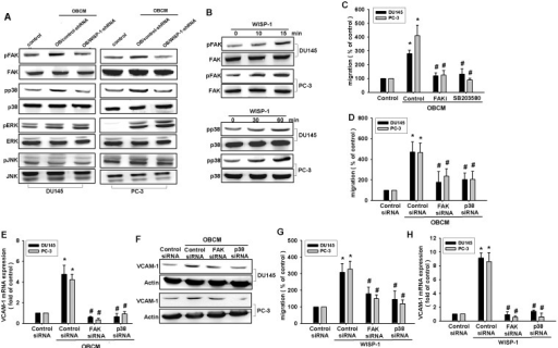 FAK and p38 pathways are involved in osteoblast-derived WISP-1-increased migration and VCAM-1 expression(A) Osteoblasts were transfected with control or WISP-1 shRNA for 24 h, and the medium was collected as OBCM and applied to PCa cells. FAK, p38, ERK, and JNK phosphorylation was examined by Western blot. (B) PCa cells were incubated with WISP-1 (10 ng/mL) for the indicated time intervals; FAK and p38 phosphorylation was examined by Western blot. (C–H) PCa cells were pretreated with FAK inhibitor (10 μM) and SB203580 (10 μM) or transfected with FAK and p38 siRNA for 24 h followed by stimulation with OBCM (30 %) or WISP-1 (10 ng/mL) for 24 h; in vitro migration and VCAM-1 expression were measured by Transwell, RT-qPCR, and Western blot analyses. Results are expressed as mean ± SEM. *, p < 0.05 compared with control; #, p < 0.05 compared with OBCM or WISP-1-treated group.
