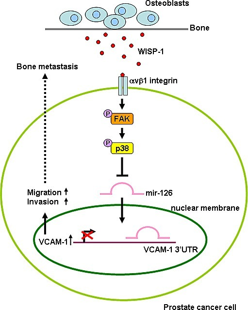 Schematic presentation of signaling pathways involved in osteoblast-derived WISP-1-induced migration and VCAM-1 expression of PCa cellsOsteoblast-derived WISP-1 promotes migration and VCAM-1 expression in human PCa cells by down-regulating miR-126 expression via αvβ1 integrin, FAK, and p38 signaling pathways.