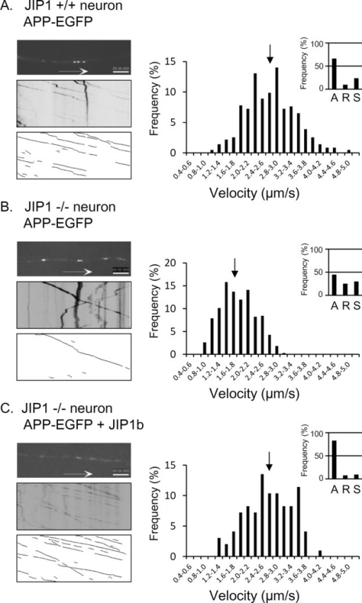 JIP1-dependent anterograde transport of APP cargo with enhanced fast velocity and efficient high frequency. APP-EGFP was expressed in primary cultured neurons from wild-type (A) or JIP1-KO (B, C) mice. JIP1b was exogenously expressed in neurons from JIP1-KO mice (C). The transport of APP cargo is shown with movies (left, top; see also supplemental movies), kymographs showing all vesicle movement (left, middle), and the traces of vesicles undergoing only anterograde transport (left, bottom). The cumulative frequencies of velocities (right) of anterograde transport of APP cargo are shown (data are normalized as percentages, and the position of the average velocity is indicated with an arrow). The ratios of anterograde (A), retrograde (R), and stationary (S) vesicles are indicated in the insets at the right. See Supplemental Movie S1A for A, S1B for B, and S1C for C. Scale bar, 5 μm. Statistical analysis for direction of movement vesicles is summarized in Table 1.