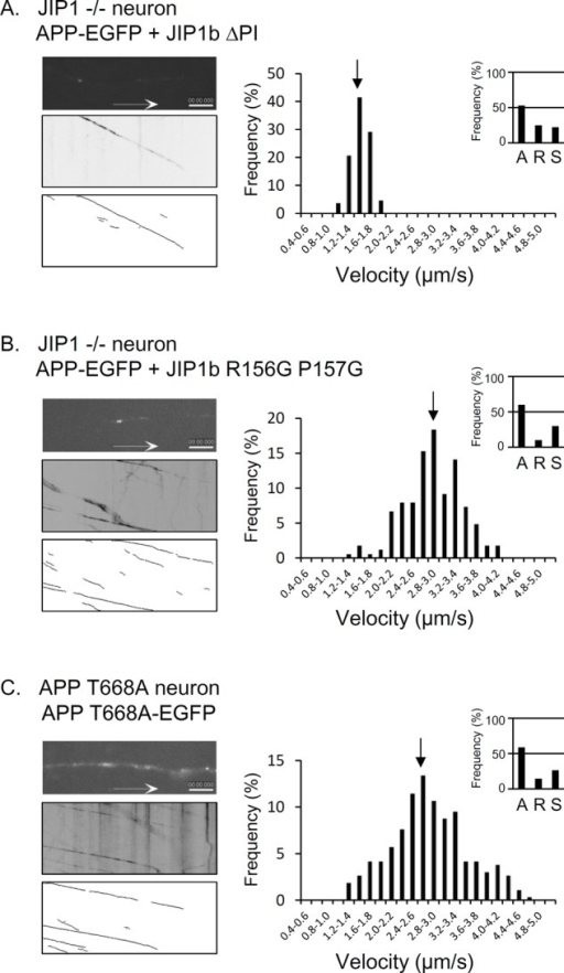 JNK binding to JIP1b and APP phosphorylation do not participate in the regulation of efficient anterograde transport of APP cargo. APP-EGFP and the indicated JIP1b mutants were coexpressed in primary cultured neurons from JIP1-KO mice (A, B), and APP T668A-EGFP was expressed in primary cultured neurons from APP T668A-KI mice (C). Data are presented as in Figure 1. The transport of APP cargo is shown. Position of average velocity is indicated with arrows. See Supplemental Movie S2A for A, S2B for B, and S2C for C. Scale bar, 5 μm. The ratios of anterograde (A), retrograde (R), and stationary (S) vesicles are indicated in the insets at the right. Statistical analysis for direction of movement vesicles, except for C, is summarized in Table 1.