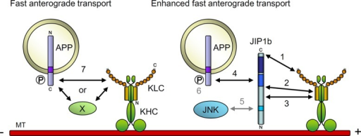 Functional interaction between APP, JIP1b, and KLC of kinesin-1. Possible regulation of APP cargo transport by protein interactions is shown schematically. 1) Association of JIP1b C11 to the TPR motif of KLC1 is required for the enhanced fast velocity of anterograde transport of APP cargo. 2) Interaction of JIP1b465-483 with KLC1 N200 regulates the association of JIP1b C11 to the TPR motif of KLC1 and is thus essential for the enhanced fast velocity of anterograde transport of APP cargo. This interaction may also be involved in the decrease of the stationary APP cargo. 3) Interaction of JIP1b370-402 with KLC1 N200 contributes to the stable and higher-frequency anterograde transport of APP cargo. 4) Interaction of the JIP1b PI/PTB domain with the APP cytoplasmic NPTY motif is essential for the enhanced fast velocity and higher frequency of anterograde transport of APP cargo. 5) Interaction of JIP1b JBD with JNK is not involved in the enhanced fast velocity of anterograde transport of APP cargo. 6) Phosphorylation of APP at cytoplasmic Thr668 is not involved in the efficient APP anterograde transport by kinesin-1. 7) APP cargoes may interact with kinesin-1 independently of JIP1 to be transported anterogradely with slower velocity. An unknown factor, X, may mediate the interaction of APP with kinesin-1, or APP can directly associate with kinesin-1 in the absence of JIP1.