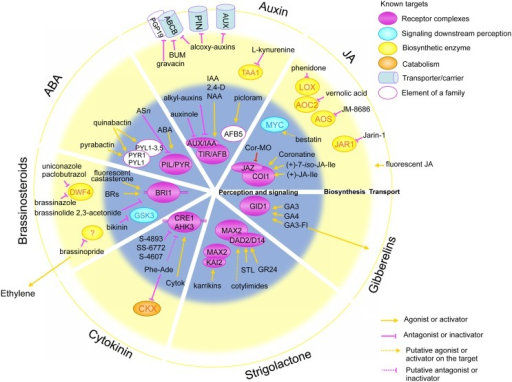 Schematic representation of the molecular targets of small molecules acting in different hormonal pathways. Concentric circles in the background represent the distinct biological processes in hormonal pathways: perception and signaling (gray inner circle), biosynthesis (yellow middle circle) and transport (white outer circle). Circles are divided in quadrants for distinct hormones, from the top clockwise: auxin, jasmonic acid (JA), gibberellins, strigolactones, cytokinins, brassinosteroids and abscisic acid (ABA). Ovals represent the molecular targets: receptor complexes (violet), signaling components (blue), biosynthetic enzyme (yellow) and catabolic enzymes (orange). Cylindrical shapes represent transporters and carriers. Molecules acting as activators are represented with an orange arrow toward their targets, whereas pink blocked arrows highlight antagonists and inhibitor molecules.