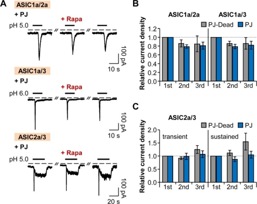 Heteromeric ASIC currents are insensitive to PI(4)P and PI(4,5)P2.(A) Current traces from ASIC1a/2a, ASIC1a/3, and ASIC2a/3 heteromeric channels evoked by extracellular acidification in cells expressing LDR and PJ. Rapamycin (1 μM) was bath-applied for 60 s, and then normal extracellular solution was perfused for 10 s right before the second pulse to minimize possible side effects of rapamycin. Dashed line indicates the zero current level. (B) Relative current density measured for the currents of ASIC1a/2a and ASIC1a/3 in (A) (n = 3, respectively). Current density of each pulse was divided by that of the first pulse. There is no statistical significance with two-way ANOVA followed by Bonferroni post-hoc test. (C) Relative current density measured for the transient and sustained currents of ASIC2a/3 in (A) (n = 3 for PJ-Dead; n = 5 for PJ). There is no statistical significance with two-way ANOVA followed by Bonferroni post-hoc test. Data are mean ± SEM.