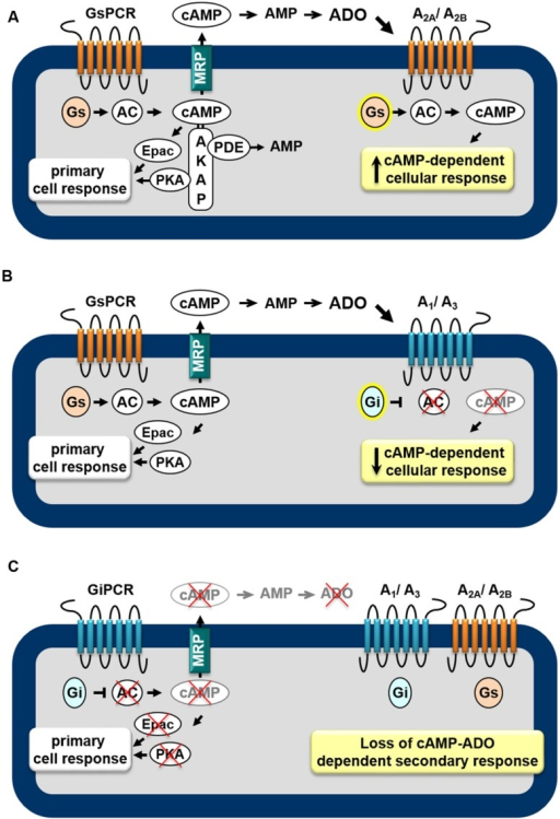 Feedback mechanisms mediated by the extracellular cAMP–adenosine cascade. Activation of receptors coupled to Gs protein (GsPCR) leads to stimulation of adenylyl cyclase (AC) and increased generation of cAMP, which may elicit localized cellular response via activation of effectors such as PKA or Epac (A,B), which are organized in microdomains via anchoring proteins, such as AKAP. cAMP may be hydrolyzed by intracellular phosphodiesterases (PDEs) or may leave the cell via multidrug resistance proteins (MRPs). Outside the cell, ecto-PDE and ecto-5′nucleotidase sequentially convert cAMP to AMP and adenosine (ADO), which may activate Gs-coupled A2A/A2B(A) or Gi-coupled A1/A3(B) receptors, increasing or attenuating cAMP production, respectively. In addition, activation of receptors coupled to Gi protein (GiPCR) results in inhibition of Gi-sensitive ACs reducing both generation and efflux of cAMP (C), with consequent loss of autocrine/paracrine feedback signaling of extracellular cAMP.