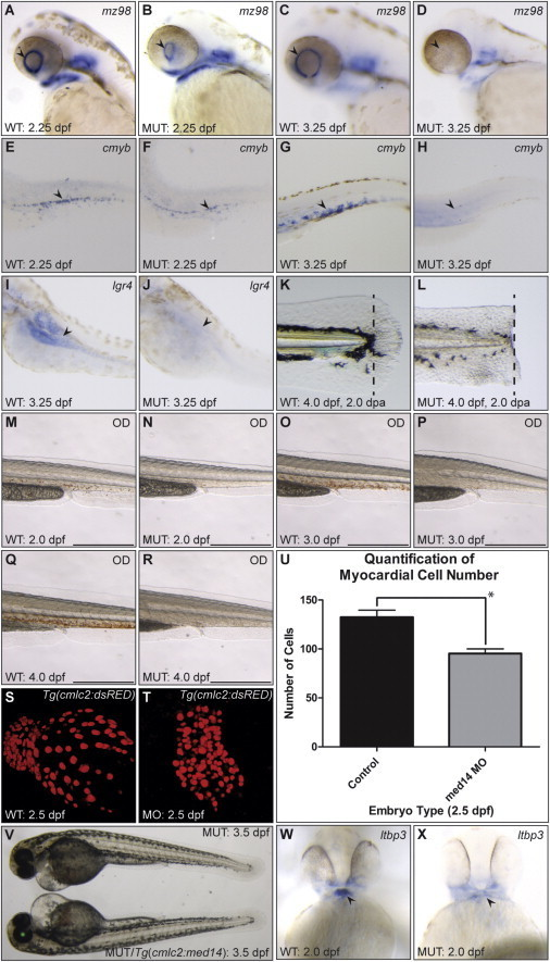 A Conserved Requirement for med14 in the Maintenance of Stem Cell Populations(A–D) Expression of retinal stem cell marker mz98 (arrowhead) is present, but reduced in log mutants at 2.25 dpf, and absent at 3.25 dpf.(E–H) Expression of the hematopoietic stem cell marker cmyb is initiated in 2.25 dpf log mutant embryos (arrowhead), but largely absent by 3.25 dpf.(I and J) Expression of the putative gut stem cell marker lgr4 is not observed in 3.25 dpf log mutant embryos (arrowhead, note expression in WT).(K and L) Robust tail fin regeneration in WT as compared with log mutant embryos at 4 dpf following amputation (at area of dotted line) at 2 dpf.(M–R) o-Dianisidane staining of red blood cells in trunks of WT and log mutant embryos. Scale bars, 0.5 mm.(S and T) Confocal projections of 2.5 dpf Tg(cmcl2:nlsDsRedExpress) WT and log morphant hearts.(U) Quantification of myocardial cell number in WT and morphant hearts shows a significant decrease in morphants (p = 0.0017, n = 6 for both conditions).(V) Cardiac edema and heart defects remain in 3.5 dpf Tg (cmlc2:med14, α-crystallin:EGFP) log mutant embryos.(W and X) Expression of the second heart field marker ltbp3 in the arterial pole of the heart (arrowhead) is reduced in log mutants at 48 hpf.