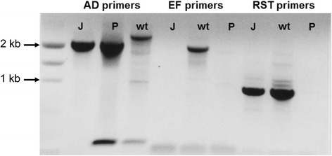 Confirmation of Xylella fastidiosa pilJ gene deletion. The pilJA/pilJD (AD) primers amplify a 3082 bp fragment from wild-type control cells (wt) or a 2200 bp fragment form the XfΔpilJ mutant (J) and deletion plasmid (P). The pilJE/pilJF (EF) primers amplify a 2030 bp band for the wild-type control strain and no band for the mutant cells or deletion plasmid. RST31/33 (RST) primers confirm that the bacteria were X. fastidiosa.