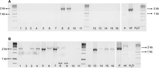 Mixture of wild-type and mutant Xylella fastidiosa strains after third isolation. The XfΔpilJ mutants confirmed in Figure 4 (isolates 4 and 17) were streaked onto PW agar plates amended with kanamycin and the genotype assessed for 16 single colonies. Each number denotes a single colony. A. The pilJE/pilJF (EF) primers amplified a 2030 bp band for non-transformed bacteria and no equivalent band for the XfΔpilJ strains or the deletion plasmid (P). B. The pilJA/pilJD (AD) primers amplified a 3082 bp band for non-transformed cells and a 2200 bp fragment from the XfΔpilJ strains and the deletion plasmid (P). Wild-type X. fastidiosa DNA (wt) was used as a positive control for the PCR reactions, while primer reaction without template DNA represented by H2O, was used as negative controls for both PCR reactions.