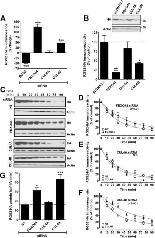 A. Increased RGS2 protein levels (PathHunter ProLabel assay) result from siRNA-mediated knockdown of CUL4B or FBXO44, but not of CUL4A B. Overexpression of CUL4B and FBXO44 decreases RGS2 protein levels whereas CUL4A overexpression has no effect. C-G. FBXO44 and CUL4B regulate RGS2 protein stability. HEK-293 cells were transiently transfected with RGS2-HA and treated with cycloheximide (10μg/ml) to inhibit protein synthesis. Representative Western blots (C) and time-course plots showing prolonged RGS2 protein half-life after either FBXO44 (D) or CUL4B (F) but not CUL4A (E) siRNA. Values were normalized to the level at 0 min (no cycloheximide), using actin as a loading control. G. Quantification of RGS2 protein half-life after siRNA-mediated knockdown of FBXO44, CUL4A and CUL4B. Data are presented as mean ± S.D. of 3 independent experiments run in triplicate; *P<0.05; **P<0.01; ***P<0.001 using one-way ANOVA with Bonferroni's post hoc test for pairwise comparisons.