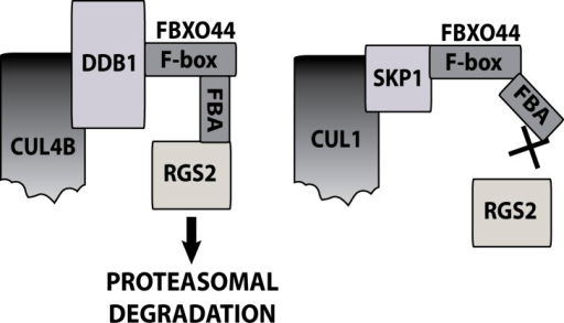 Model of a CUL4B/DDB1/FBXO44 E3 ligase complex responsible for RGS2 protein degradation.FBXO44 also associates with a CUL1/Skp1 complex, however this complex is unable to regulate RGS2 protein degradation.