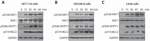 RAF1 and MYPT1, two candidates identified in the shRNA screen, are rapidly phosphorylated in response to LSA. (A–C) Time course induction of RAF1 and MYPT1 phosphorylation by LSA in HCT-116 colorectal cancer cells (A), OVCAR-8 ovarian cancer cells (B) and CA46 Burkitt's lymphoma cells (C). Cells were exposed to 100 nM LSA for the indicated times. RAF1 activation was evaluated by its phosphorylation on S338. MYPT1 inhibition was evaluated by its inhibitory phosphorylation on T696 and by MLC2 phosphorylation on S19 due to its MYPT1-mediated dephosphorylation on Ser19.
