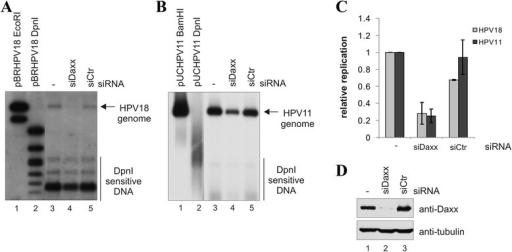 Down-regulation of DAXX represses HPV genome transient replication. U2OS cells were first transfected with Daxx siRNA or a control siRNA, and 24 h later with wt HPV18 (a) or wt HPV11 (b) genome. Cells were harvested 72 h after transfection, episomal DNA was isolated, digested with DpnI and linearizing enzyme, EcoRI or BamHI, and analyzed by Southern blotting using a radiolabeled probe specific for the viral genome. The linearizing enzyme (M1) and DpnI (M2) digested pBRHPV18 or pUCHPV11 plasmids as markers are shown on the right. c qPCR analysis of the episomal DNA isolated in replication assays. Episomal DNA was digested with DpnI and analysed by qPCR using HPV18 or HPV11 genome, and mitochondrial DNA specific primers. The data represent the average of three independent experiments and are presented graphically relative to the basal replication level of the HPV18 or HPV11 genome. d Western blot analysis of the DAXX protein levels in the cells used in replication assays. Cells (105) were lysed, separated electrophoretically, and immunoblotted with anti-DAXX and anti-tubulin antibodies