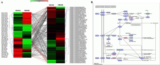 Co-regulation of miRNAs and target mRNAs in the adipocytokine signaling pathway.(A) Expression pattern and relationship of differentially expressed miRNAs (left) and mRNAs involved in the adipocytokine signaling pathway (right, identified by DGE, unpublished data). The expression profile of a miRNA or gene in the brain (HB/AB) and adipose tissue (HA/AA) was calculated by sequence counts (TPM). The red and green colors represent high and low gene expression after comparing the hibernating state vs. the active state. Differentially expressed miRNAs and mRNAs (P≤0.01) during hibernation are linked with red lines; (B) Network of adipocytokine signaling pathway. Red box, predicted target genes of differentially expressed miRNAs that were also identified by DGE; Blue box, predicted target genes of differentially expressed miRNAs, but that were not identified by DGE; Green box, genes identified by DGE.