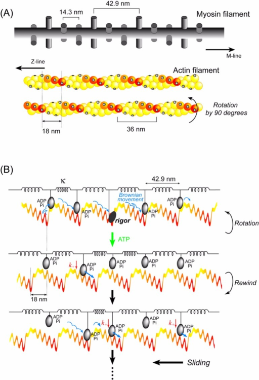 Cooperative action of multiple heads undergoing stochastic steps. (A) Schematic diagrams of actin and myosin filaments in skeletal muscle78. The actin filament has a helical structure with a half pitch of 36 nm. The myosin filament also has a helical structure with a pitch of 43 nm and a subunit repeat of 14.3 nm. Myosin heads on a myosin filament project toward an actin filament at 43 nm intervals. In skeletal muscle, the actin and myosin filaments are arranged in a hexagonal lattice and one actin is surrounded by three myosin filaments. Therefore, the number of myosin molecules project toward one actin filament 0.7 µm long (length when fully overlapped with myosin filaments) is approximately 50. When the actin filament is rotated 90°64, the relative position between the actin helical pitches and the myosin heads shifts by approximately 3 actin monomers. The actin slopes along the actin helical pitches are represented by a color gradient. (B) Qualitative explanation of the cooperative action of myosin heads on a thick filament. The myosin filament is equivalently represented by a row of myosin heads connected with springs at intervals of 43 nm. The actin filament is represented by straight, periodic, saw-tooth shape potentials along the half helical pitches as shown in Fig. 10. Cooperative action of the myosin heads causes a long (>60 nm) sliding distance of an actin filament per ATP (see text for detail).