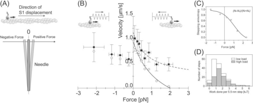 Load dependent properties of the 5.5-nm steps. (A) The definition of the direction of the forces. When the S1 was pulled by the needle against its proceeding direction, determined by the direction of major displacement as shown in Fig. 4, the force was defined as positive. (B) Force-velocity curve of individual S1 molecules. The velocity was obtained by dividing the step size, 5.5 nm, by the dwell time (Filled circles). Bars indicate the standard deviations for 10–30 steps. Open circles indicate the velocity corrected by the anisotropy of the stepping direction. The solid line shows the Hill's curve fitted to the corrected velocity. (C) Load dependence of the stepping anisotropy. (D) Histogram of work done by each 5.5-nm step at low (white bars) and at high needle stiffness (gray bars). Average work done per 5.5-nm step at higher needle stiffness was 1.8 kBT.