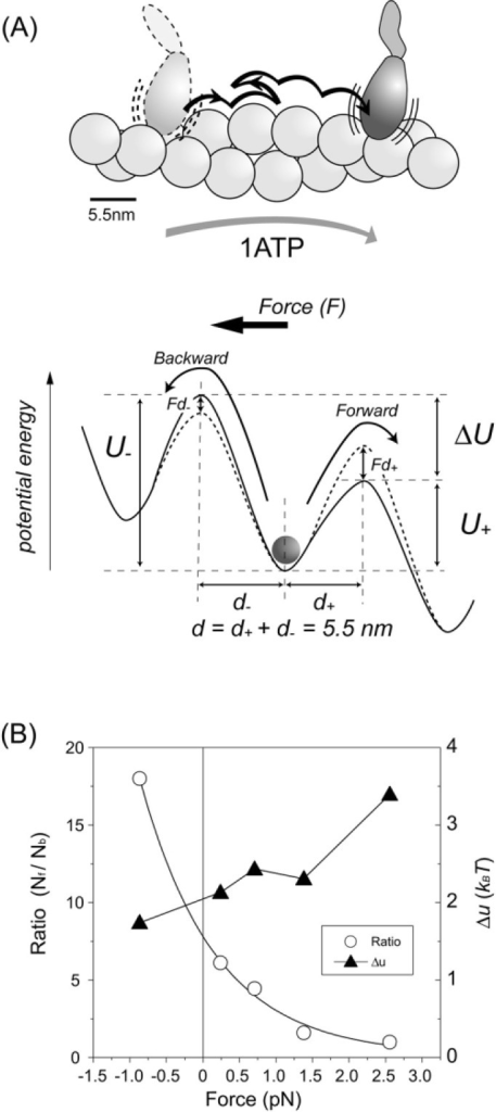 Potential profile for biased Brownian steps. (A) Biased Brownian steps of a myosin head along an actin filament (Upper) and asymmetric potential of the activation energy (Lower). (B) Ratio of forward and backward steps at various loads (open circles) and difference between the maximum potential barriers for forward and backward steps, Δu (filled triangles) (Supplement Movie 1).