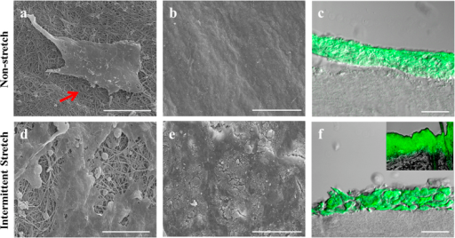 Morphological comparison of the regenerated epidermis under co-stimulation with mechanical stress and air-exposure.SEM images showing epidermis morphology of 3D skin cultured under non-stretch or intermittent-stretch conditions. (a,b) Collagen fiber (arrow) was covered with smooth epidermis of HaCaT under air-exposure only condition. (d,e) Collagen fiber was covered with tough stratum corneum of HaCaT differentiated under co-stimulation with intermittent stretch and air-exposure. (c,f) Epidermal layer was labeled using FITC-conjugated nanoparticles. (c) Nanoparticles were deposited into the epidermal layer but distinguishable granular layer was not detected. (f) Spinous or granular layers were confirmed, stained with FITC-labeled nanoparticles. Inside figure is the rat skin which was deposited with FITC-labeled nanoparticles. But, Nanoparticles also were not penetrated to the dermal layer of rat skin. (Bar = 10 μm (a,d), 100 μm (b,e) and 50 μm (c,f)).
