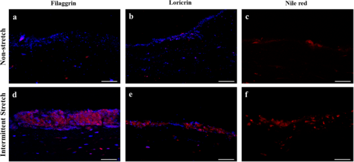 Comparison of expressions of differentiation markers and formation of cornified envelops of 14-day cultured 3D skins between non-stretch and intermittent stretch conditions.Filaggrin (a,d) and loricrin (b,e) were immunostained in red and the nucleus was stained in blue. Cornified envelops (c,f) were identified by Nile red staining of lipids. (a,b) Both filaggrin and loricrin were less expressed under air-exposure without stretch. (d,e) Both filaggrin and loricrin were highly expressed under air-exposure with intermittent stretch. (c) Cornified envelops were rarely detected under air-exposure only condition. (f) High density of cornified envelops was detected with high lipid contents under co-stimulation with intermittent stretch and air-exposure. Bar = 50 μm.