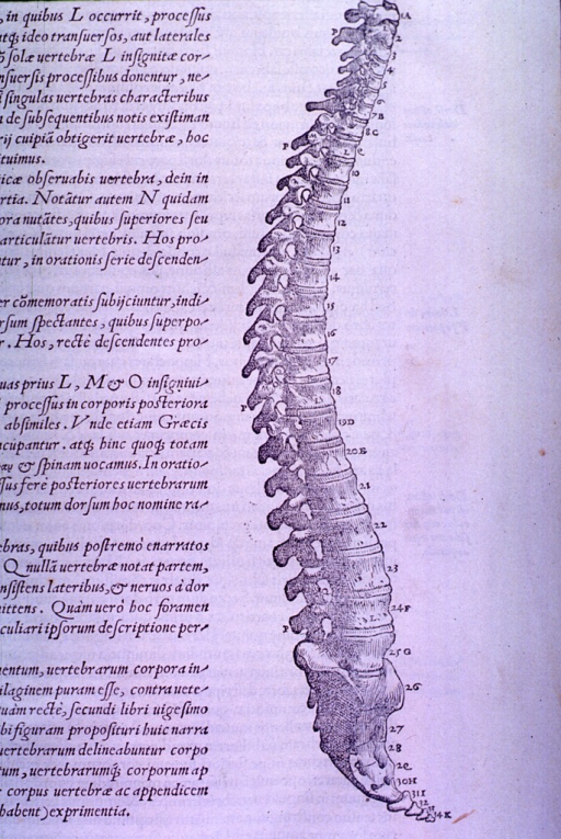 <p>Side view of the spinal column.</p>