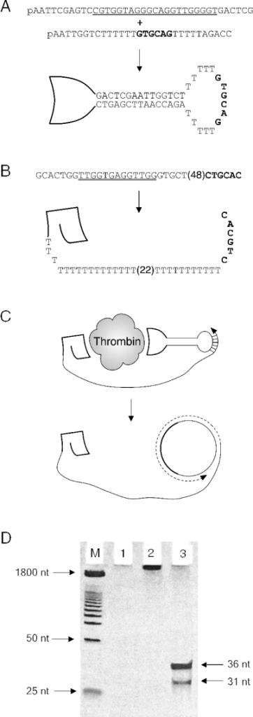 Aptamers for the detection of human thrombin by proximity extension. (A) Formation of the circular dumbbell CT-6 aptamer bearing a thrombin exosite II motif (underlined) plus an unstructured template loop (bold). (B) Linear LT-6 aptamer bearing a thrombin exosite I motif (underlined) plus a long tail with a complementary 3′-terminus (bold). Poly(dT) stretches of 22 and 48 nt in length are shown in parentheses. (C) Simultaneous binding of aptamers to thrombin primes DNA polymerase-mediated RCA. (D) Polyacrylamide gel (12%) with markers (M) followed by proximity-extension-mediated RCA products generated in the presence of (1) 0 pM thrombin, (2) 4000 pM thrombin and (3) 4000 pM thrombin with subsequent Taqα 1 restriction enzyme digestion. No product is generated in the absence of thrombin, while high molecular weight products are observed when thrombin is present. These products can be digested using Taqα 1 restriction enzyme into fragments displaying the expected sizes (36 and 31 nt for the 67 nt LT-6 template).