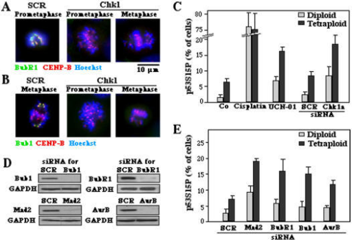 Phosphorylation of p53 on serine 15 in response to SAC inhibition.A, B. Abolition of SAC by Chk1 depletion. Tetraploid cells were either transfected with a scrambled control siRNA (SCR) or with a Chk1-specific siRNA and then subjected 48 h later to immunofluorescence to determine the centromeric location of BubR1 or Bub1 (as in Fig. 1B) as a sign of SAC activation. Note that depletion of Chk1 fully abolished SAC. C. p53 activation by Chk1 inhibition in diploid versus tetraploid cells. Cells treated with 15 µM cisplatin, a Chk1-depleting siRNA (or its control SCR) or the Chk1 inhibitor UCN-01 were stained 48 h later to detect p53 phosphorylation on serine 15. Cisplatin treatment was used as an internal positive control. D. Efficacy of siRNAs directed against SAC proteins, as determined by immunoblot, 48 hours after transfection. E. p53 phosphorylation on serine 15 after depletion of SAC proteins. (X±SEM, n = 3).