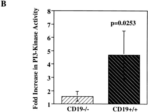 BCR-mediated  stimulation of PI3-kinase activation is diminished in splenic B  cells from CD19−/− mice compared with CD19+/+ littermates. Splenic B cells (ρ ⩾1.066)  were purified from spleens of  CD19−/− or CD19+/+ mice, prewarmed, stimulated with F(ab′)2  RAMIG (26.4 μg/5 × 106/ml)  for 2 min, lysed, and then immunoprecipitated with an anti-p85  antibody. Immunoprecipitates  were washed and assayed for PI3-kinase activity. Fold increase in  PI3-kinase activity after stimulation was determined using a  PhosphorImager. (A) Primary  autoradiographic data from a representative experiment. (B) Mean fold increase over basal in three independent experiments ± standard error of the mean.  Statistical significance was determined by JMP version 3.16 statistical software (SAS Institute).