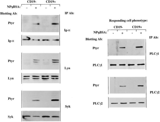 Tyrosine phosphorylation of signaling molecules upon  antigen stimulation of the CD19-negative and CD19-positive cell  lines. J558Lμm3 CD45+ variants  were stimulated for 1 min with  2.5 μg NP9BSA/107cells/ml,  lysed, and intermediary signaling  molecules immunoprecipitated  with various antibodies and fractionated on 10% SDS-PAGE.  After electrophoretic transfer to  PVDF membrane, both anti-phosphotyrosine and anti-effector immunoblotting were performed. Data are representative  of at least three independent experiments.