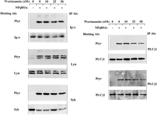 In the CD19-positive J558Lμm3CD45+ cells, antigen-induced tyrosine phosphorylation of PLCγ1 and PLCγ2 is  slightly inhibited by wortmannin, while Lyn, Ig-α and Syk  inductive tyrosine phosphorylation is insensitive to wortmannin.  J558Lμm3CD45+CD19+ cells  were preincubated with DMSO  or increasing concentrations of  wortmannin, prewarmed and  stimulated for 1 min with  NP9BSA (2.5 μg/107 cells/ml)  and lysed. Immunoprecipitation,  SDS-PAGE fractionation and electrophoretic transfer were performed. For each immunoprecipitation, both anti-phosphotyrosine  and anti-effector immunoblots  are shown. Results are representative of at least three independent experiments.