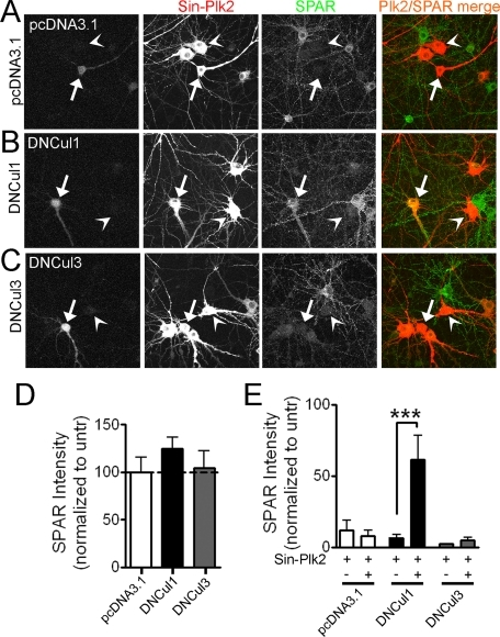 "Plk2-induced SPAR degradation requires a Cul1-based E3 Ubligase. A-C, dominant negative Cul1 constructs block Plk2-dependent loss of SPAR in hippocampal neurons. Dissociated rat hippocampal neurons (DIV16) were transfected with dominant negative Cullin plasmids (B and C) or a control plasmid (A) and super-infected 2 days later with FLAG-tagged Plk2 driven by Sindbis virus (Sin-Plk2). Neurons were fixed ∼18 h post-infection and immunostained for endogenous SPAR and infected Plk2. Transfected cells were identified during image acquisition by the presence of a co-transfected ""fill"" protein (GFP, seen in the first column of images). SPAR (green) and Plk2 (red) were pseudo-colored for illustrative purposes after image analysis. Arrows point to cells that are both transfected and infected; arrowheads point to cells that are infected only. Yellow indicates the presence of both SPAR and Plk2 staining. D and E, quantification of SPAR immunostaining in somatic and proximal dendritic regions as integrated immunofluorescence intensity per area in cells transfected with indicated plasmids and/or infected with Plk2 Sindbis virus (Sin-Plk2), normalized to nearby untransfected (untr) cells. Values represent the mean ± S.E., n > 17 cells for all conditions, ***, p < 0.001, Mann-Whitney test (E)."