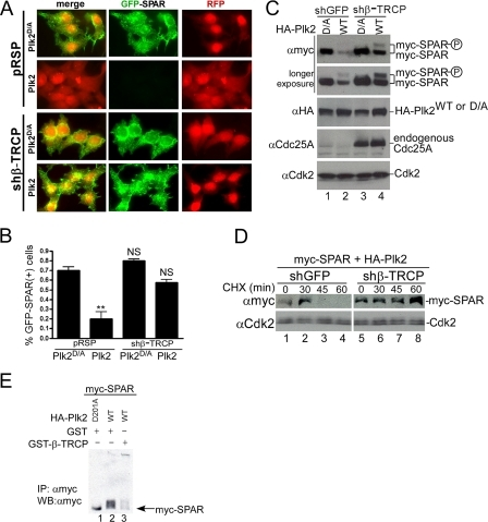 SCFβ-TRCP regulates Plk2-dependent SPAR abundance, turnover, and promotes its ubiquitination. A and B, depletion of β-TRCP by RNAi protects GFP-SPAR from degradation in individual HEK293T cells. The indicated plasmids were transfected with pCMV-RFP as a co-transfection marker into HEK293T cells. After 96 h, cells were fixed and imaged for GFP-SPAR and RFP expression (A) and quantified as the percentage of RFP expressing cells that also expressed GFP-SPAR (B). Values represent the mean ± S.E. from three independent experiments, derived from analysis of 400 cells per experiment per condition (n = 1200 cells per condition). **, p < 0.01; NS, not significant; one-way analysis of variance, compared with control condition (pRSP+Plk2D/A). C and D, depletion of β-TRCP by RNAi stabilizes SPAR abundance and turnover in the presence of Plk2 activity. HEK293T cells were transfected with vectors expressing myc-SPAR (0.5 μg), WT, or catalytically inactive HA-Plk2 (D/A) (1 μg), and the indicated shRNA vector carrying a puromycin resistance selection marker (2.5 μg). 36 h post-transfection, cells were incubated with media containing 1 μg/ml puromycin to enrich for shRNA expression. Extracts were subsequently examined by immunoblotting 96 h post-transfection as indicated. Endogenous Cdc25A was probed to control for successful knockdown of β-TRCP. In panel D, HEK293T cells were transfected in an identical fashion to panel C, except that 24 h post-transfection the transfected cells were split among 5 wells in puromycin-containing media. After 48 h of puromycin selection, cells were treated with 25 μg/ml cycloheximide (CHX) and harvested at the indicated times before immunoblotting. E, expression of β-TRCP promotes Plk2-mediated SPAR ubiquitination. HEK293T cells were transfected with myc-SPAR (1 μg), His-Ub (1 μg), HA-Plk2 (1.5 μg, wild type or D201A), and GST or GST-β-TRCP (4.5 μg). Twenty hours post-transfection cells were treated with 25 μm MG-132 for 5 h and lysed in buffer containing 10 mm N-ethylmaleimide. Myc-SPAR was purified with c-Myc 9E10-agarose, resolved on 6% Tris-glycine SDS-PAGE gel, and immunoblotted (IB) with anti-Myc antibodies. IP, immunoprecipitates.