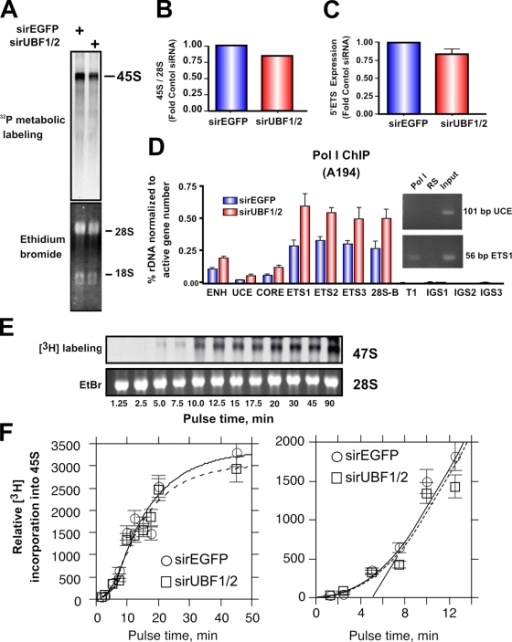 UBF1/2 depletion causes a modest decrease in net rDNA transcription. (A) NIH3T3 cells transfected with siRNA-EGFP or -UBF1/2 and incubated in phosphate-free DME for 2 h and in phosphate-free DME/FBS containing 0.125 mCi/ml [32P]orthophosphate for 30 min. 32P-labeled cellular RNAs were resolved on 1.2% MOPS-formaldehyde gels and exposed on a PhosphoImaging screen. Total levels of 28S and 18S rRNAs were detected by ethidium bromide staining. (B) 45S rRNA levels in A were quantitated and normalized to corresponding total 28S levels. (C) Total RNA was extracted from siRNA-EGFP– or -UBF1/2–transfected NIH3T3 cells and normalized to an equal number of cells for each sample, and 45S rRNA precursor levels were determined by reverse transcription qRT-PCR using primers to the 5′ ETS (n = 3). (D) qChIP analysis of Pol I (A194 subunit) binding to the rDNA. Pol I enrichment was calculated as described in Fig. 1 D and normalized to the number of active rRNA genes as determined by psoralen cross-linking experiments in Fig. 2 B (n = 3). A representative ethidium bromide gel showing the amount of UCE and ETS1 products amplified after 22 PCR cycles. (E) UBF depletion does not affect Pol I elongation rates in NIH3T3 cells. NIH3T3 cells were transfected with siRNA-EGFP or -UBF1/2 and labeled with 10 μCi [3H]uridine for the indicated times. 3H-labeled cellular RNAs were extracted and resolved on 1% formaldehyde gels, transferred to membrane, and exposed to x-ray films. Total levels of 28S rRNAs were detected by ethidium bromide (EtBr) staining. (F) Duplicate analyses of 3H-labeled 45S rRNA in E were quantitated and normalized to corresponding total 28S levels (EtBr). The curves fitted to the data were calculated as previously shown (Stefanovsky et al., 2006a). The mean per gene elongation time was estimated to be 5 min by extrapolation of the linear phase of incorporation onto the time axis. ENH, enhancer; ITS, internal transcribed spacer; T, terminator region. Mean ± SEM (error bars).