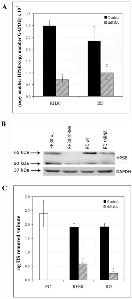 Stable heparanase silencing of RH30 and RD cell lines with shRNA. (A) HPSE mRNA expression levels in control (black bars) and silenced (hatched bars) RH30 and RD cell lines were determined by Real-time PCR. The results were normalized using GAPDH as internal control and represent the mean ± standard deviation of three samples performed in duplicate. (B) Western blot analysis was performed to demonstrate HPSE silencing between control and silenced RH30 and RD cell lines. GAPDH was included as loading control. (C) Heparanase activity in serum-free conditioned media obtained from control (black bars) and silenced (hatched bars) RH30 and RD cell lines. The enzymatic activity is expressed as nanograms of heparan sulphate (HS) removed per minute. The results represent the mean ± standard deviation of three independent experiments performed in duplicate. Platelet extract was used as positive control (PC, white bar). An asterisk (*) indicates a significant difference from control (P < 0.05).