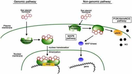 steroid hormones bind to plasma membrane receptors