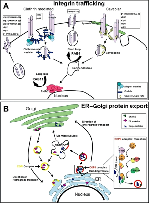 Integrin trafficking and endoplasmic reticulum (ER) to Golgi protein export pathways.A. Integrin trafficking depicting the two main pathways of internalization, clathrin-mediated and caveolar, as well as the pathways for recycling. Clathrin-mediated internalization utilizes clathrin coated pits, whereas caveolar internalization utilizes dynamin GTPase to form vesicles containing lipid rafts and caveolin protein. Recycling occurs through fusion to early endosomes and proceeds either via Rab4 signaling through a short loop pathway or via Rab11 signaling through a long loop pathway where proteins pass through the perinuclear recyling complex. Respective integrins and their trafficking mediators are listed above the suggested pathways that they utilize (9, 17, 19, 30, 31). B. ER to Golgi protein export depicting coat protein complex II (COPII)-mediated anterograde transport and coat protein complex I (COPI)-mediated retrograde transport between the ER and the Golgi complex. COPII assembly commences with Sar1 G-protein activation by the Sec12 guanine nucleotide exchange factor, followed by the recruitment of the Sec23–24 heterodimer that recognizes ER export signals on cargo proteins for inclusion in vesicles. The Sar1-Sec23–24 complex recruits the Sec13–31 heterodimer that facilitates final budding and vesicle formation from the ER. Vesicles proceed to the ER–Golgi intermediate compartment (ERGIC), which is also called vesicular tubular clusters (VTC), the complex of which transports proteins to the Golgi destination for eventual final export (15, 20, 23). GTP = guanosine-5′-triphosphate; SNARE = N-ethylmaleimide-sensitive fusion protein attachment protein receptor. PKC = protein kinase C.